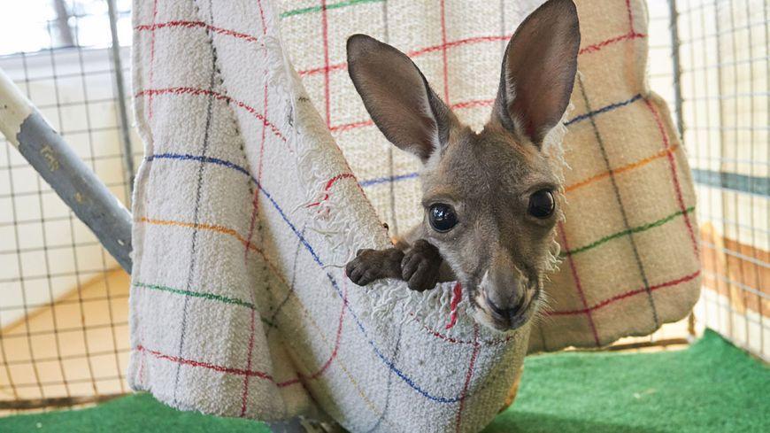 La petite femelle kangourou dans sa poche de substitution