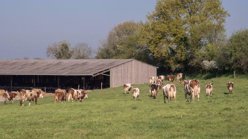 Vaches laitières (illustration)