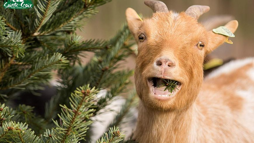 Les chèvres naines apprécient particulièrement les épines des sapins