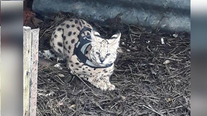 Le chat de race Savannah dans le poulailler de Jean et Rina à Nilvange