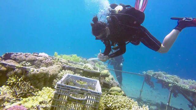 Des chercheurs du monde entier viennent étudier ce corail plus résistant que d'autres