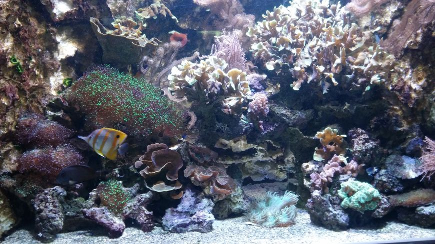 Les supports en céramique ressemblent dans leur structure aux coraux durs, ici ceux de l'aquarium de Limoges.