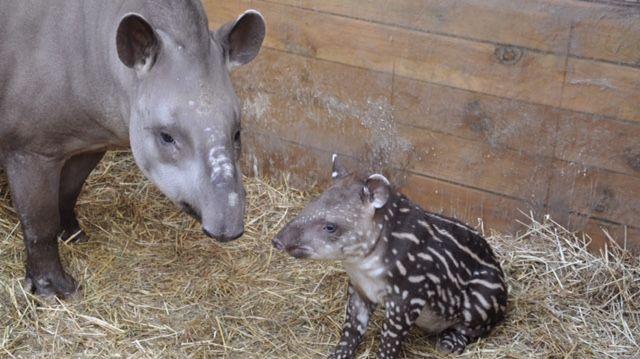 Le bébé tapir est né le 2 janvier