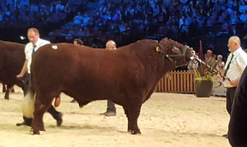 """Voici """"Marceau"""", le taureau né naturellement sans corne sélectionné pour le concours de la race Salers au salon de l'agriculture"""