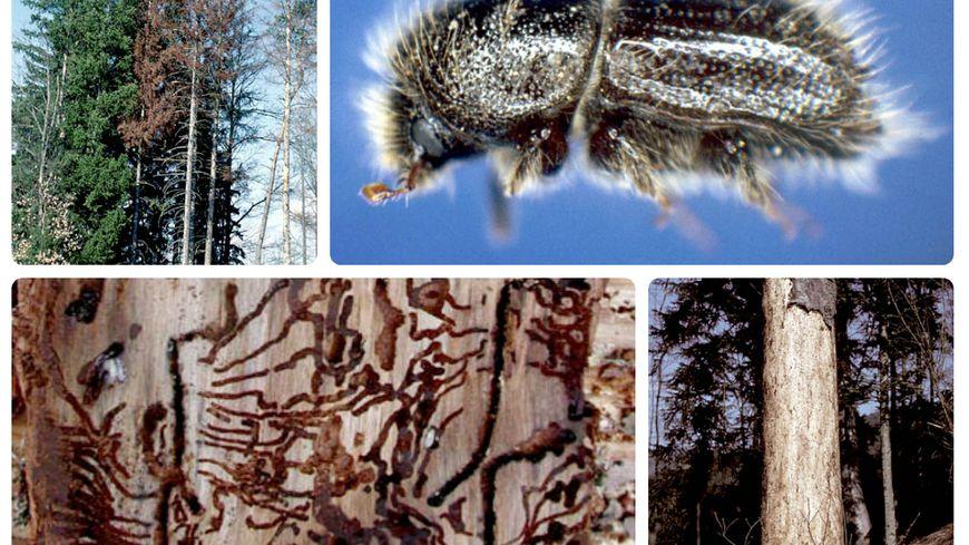Le scolyte est un insecte coléoptère qui creuse des sillons entre le bois et l'écorce de l'épicéa.