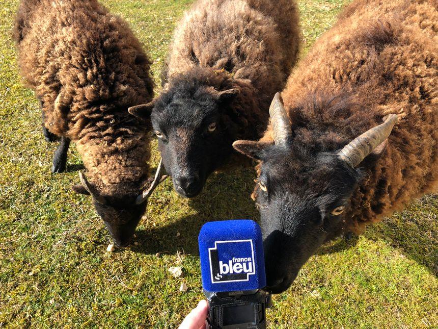 Une auberge à la campagne où ces animaux domestiques côtoient aussi des moutons d'Ouessant