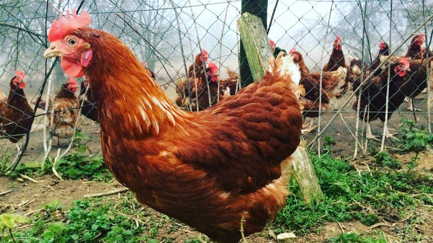 Les poules d'Isabelle et Mickaël Naveau ont été choisies pour représenter Loué au Salon de l'Agriculture cette année