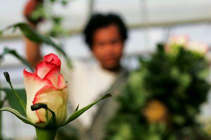 Des roses du bout du monde pour la Saint-Valentin en Europe