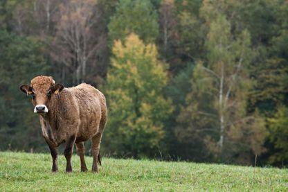 A la différence d'autres races de bovins, tous les morceaux de la Auroch sont utilisés