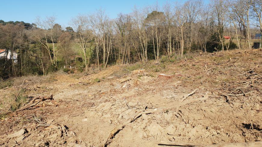 Depuis le mois de décembre, des camions espagnols viennent couper et déraciner des chênes mais aussi des pins