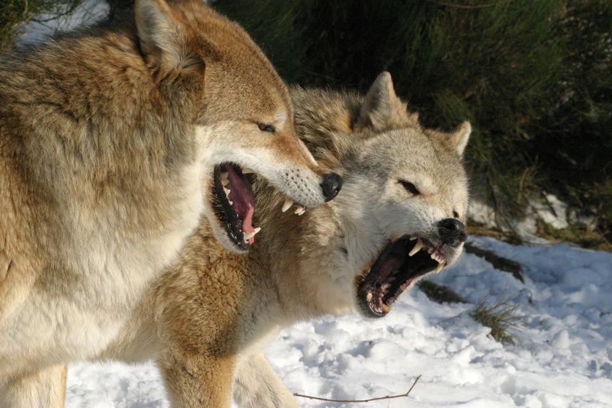 Le parc accueille sur 25 hectares une centaine de loups.