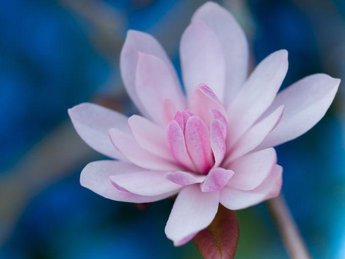 Le magnolia symbolise la fidélité et le respect dans la durée