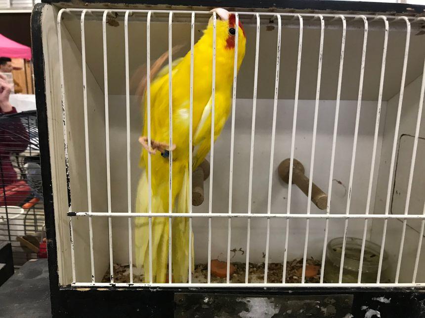 Cet oiseau, un kakariki jaune, est un véritable clown : même dans une véritable volière, il grimpe partout et fait des figures.