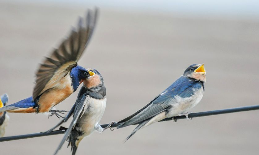 Disparition des oiseaux : vers des printemps de plus en plus