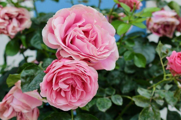La rose, fleur de l'amour par excellence