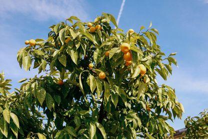 Tangerines on tree on sunny day