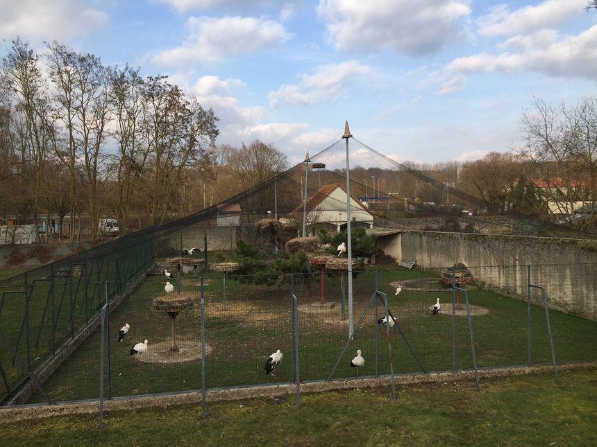 Plus de 500 cigogneaux sont nés en 25 ans dans l'enclos de Saint-Nicolas-de-Port