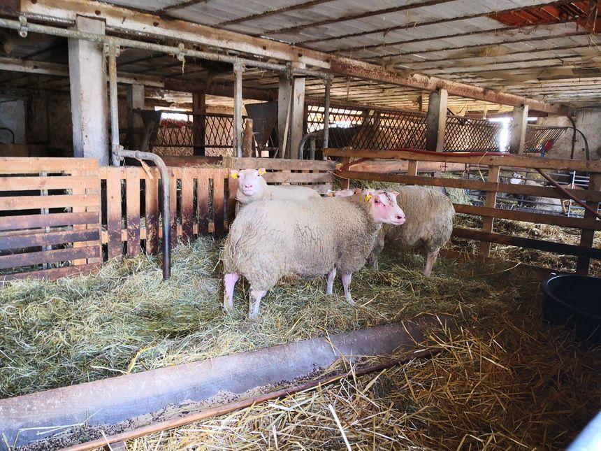 Les moutons de Gilles Roux: ils seront 13 sur le ring !