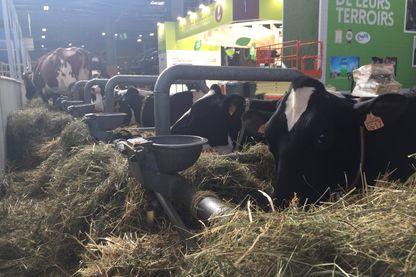 Des vaches au Salon de l'agriculture