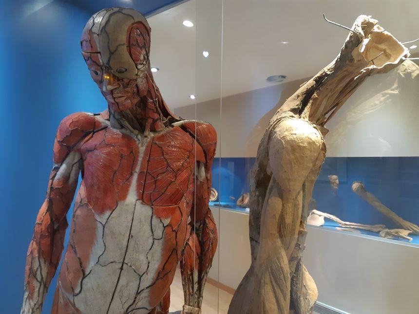 La pièce maîtresse du musée, le grand écorché d'anatomie du docteur Auzoux