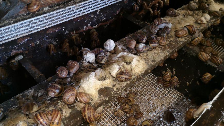 Ces escargots d'élevage sont des Gros-Gris