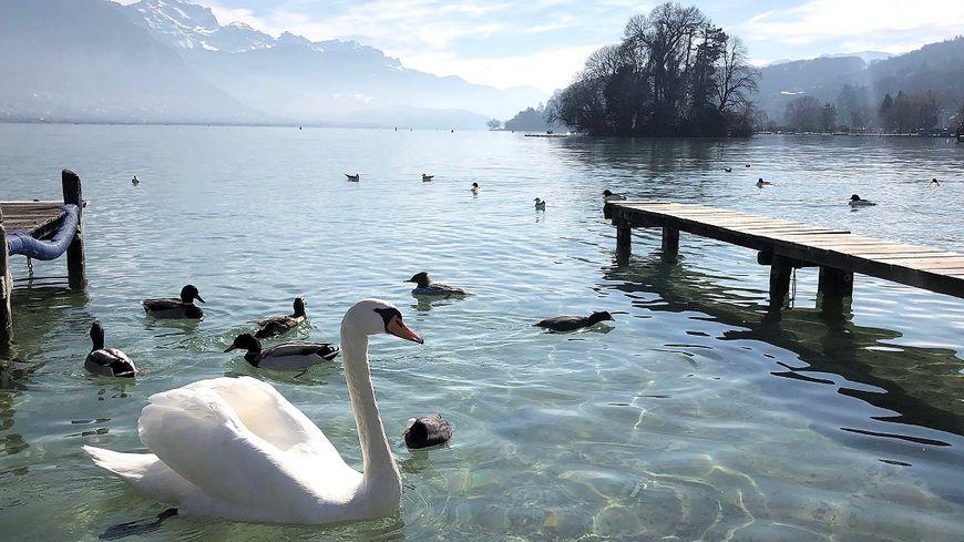 Dimanche dernier, un cygne du lac d'Annecy (Haute-Savoie) a été abattu par un tir de plomb en pleine tête. Une association de préservation de cet oiseau a annoncé qu'elle allait porter plainte.