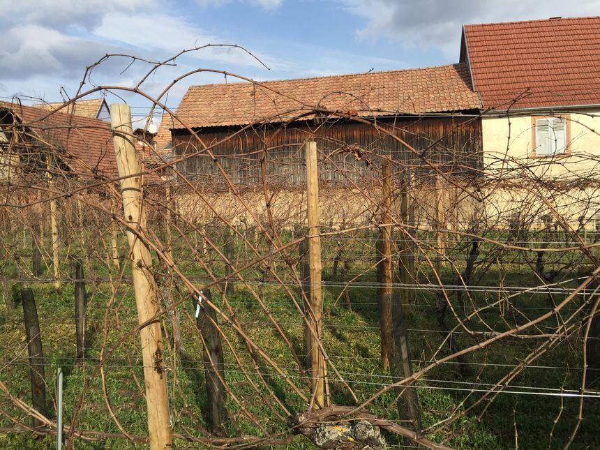 Procédure d'enroulement de la vigne autour des fils