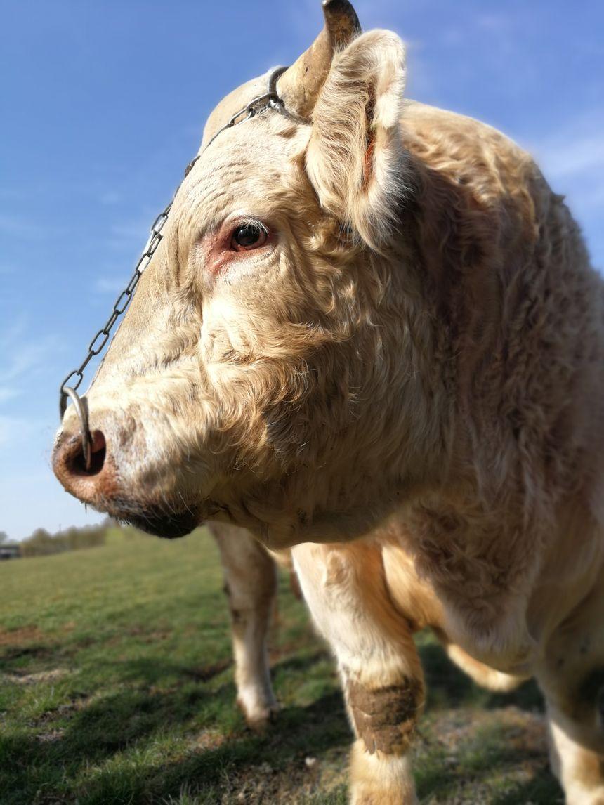 Ce beau bébé s'appelle Leicester il vit dans une pâture à Recey-sur-Ource en Côte-d'Or