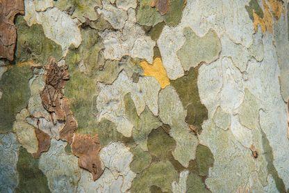 Écorce à motifs colorés d'un platane