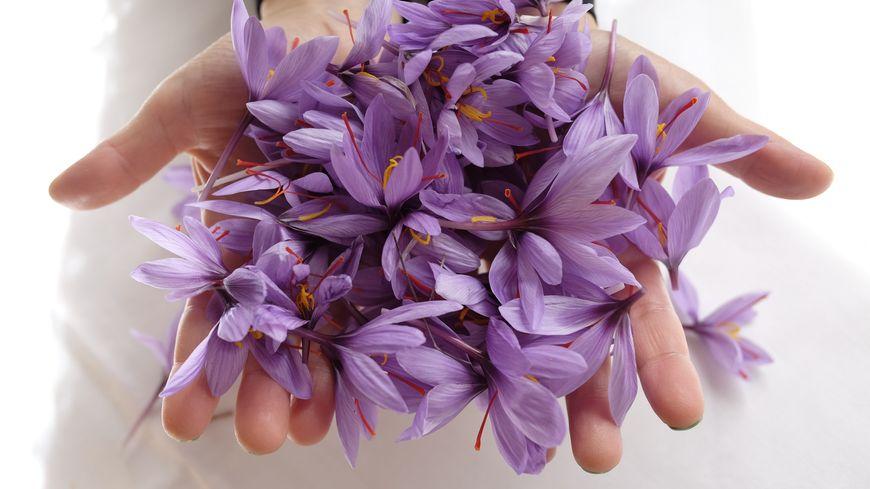 Des bulbes de safran originaires du Quercy, certifiés agriculture biologique