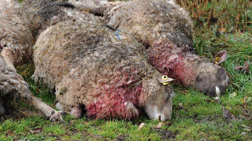 Photo d'illustration : les brebis ont probablement été victimes d'une attaque de chien