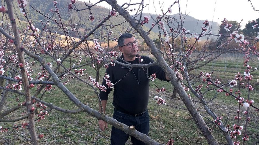 Les abricotiers de Bernard Habauzit à Vesseaux sont déjà en fleurs