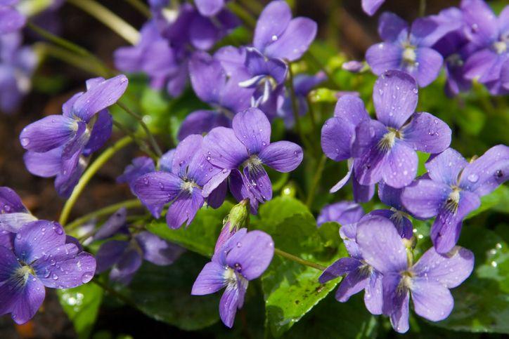 Exprimer un amour secret avec un bouquet de violettes