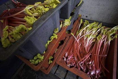 Les racines de rhubarbes utilisées dans certains compléments alimentaires peuvent être dangereux pour la santé selon l'académie de pharmacie
