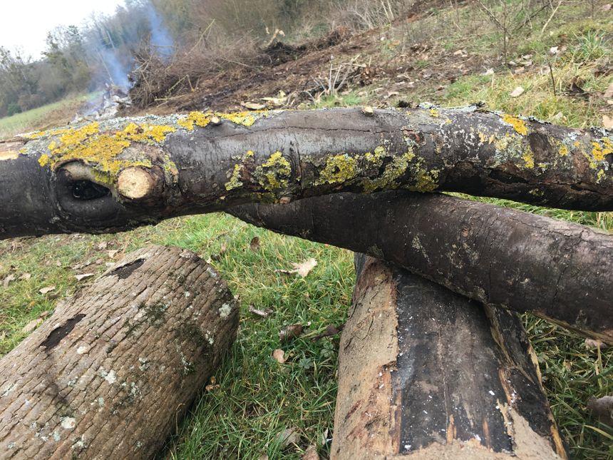 Les surfaces noires sur les troncs sont de la suie d'érable, une maladie liée à un champignon du bois