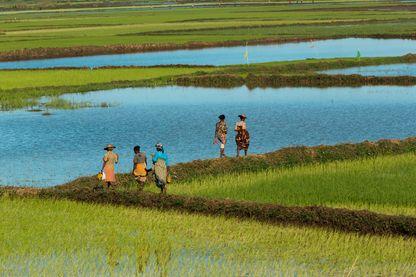 8 millions de producteurs de riz à Madagascar.