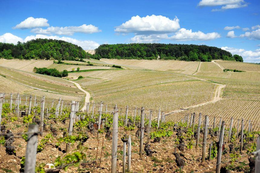 Les vins du Chablisien représentent, en volume,  autour de 27% des vins de Bourgogne toutes couleurs confondues exportés vers Japon.