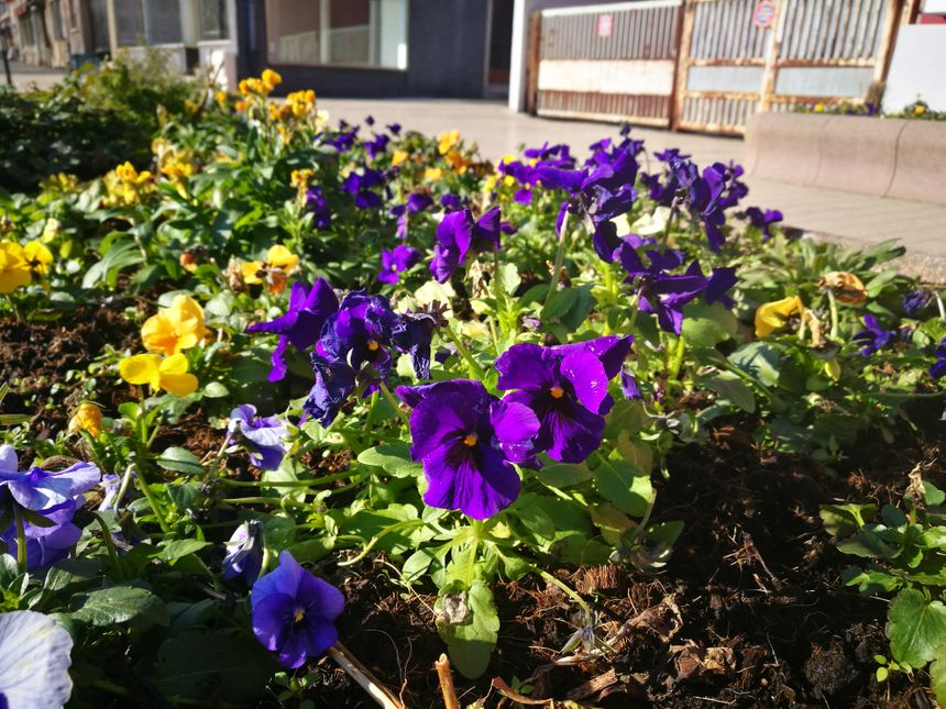 Même en hiver, on trouve des fleurs à Sarreguemines