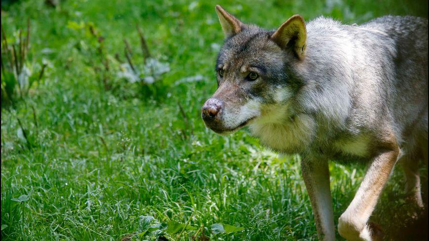 Un loup aurait été filmé sur une route qui monte au Collet d'Allevard (Isère). (image d'illustration)