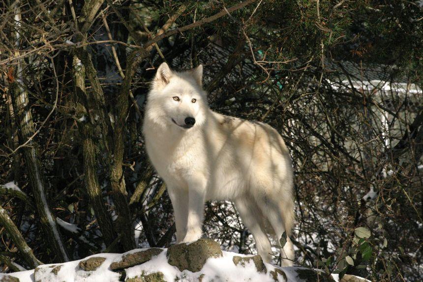 Une promenade dans le parc vous permettra d'observer 5 sous-espèces de loups actuellement présentes (Mongolie, Sibérie, Pologne, Canada et Arctiques ; soit une centaine de loups).