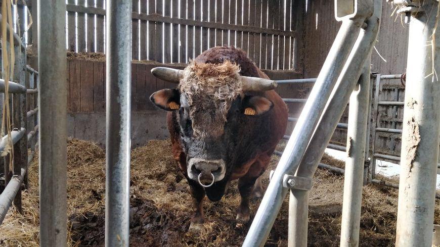 Le taureau Joyeux sera présenté vendredi en concours au Salon de l'Agriculture.