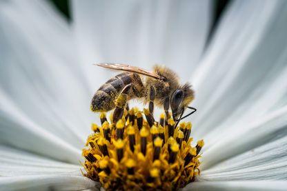 Les abeilles savent compter, si cela pouvait les sauver...