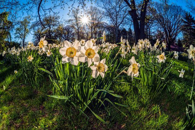 tapis de narcisses en fleurs