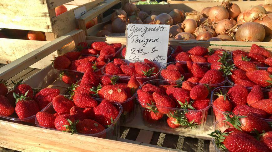 Les premières fraises périgourdines arrivent sur les marchés.