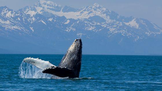 Baleine à bosse au large de l'Alaska