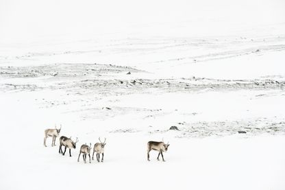 Semi-domesticated Reindeer, Rangifer tarandus, in winter mountain landscape.