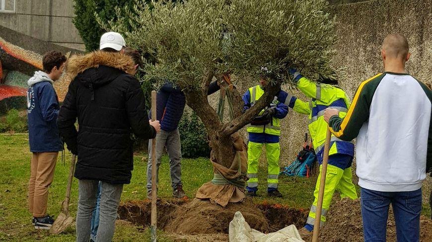 Les élèves du lycée agricole ont eux-même planté l'olivier.