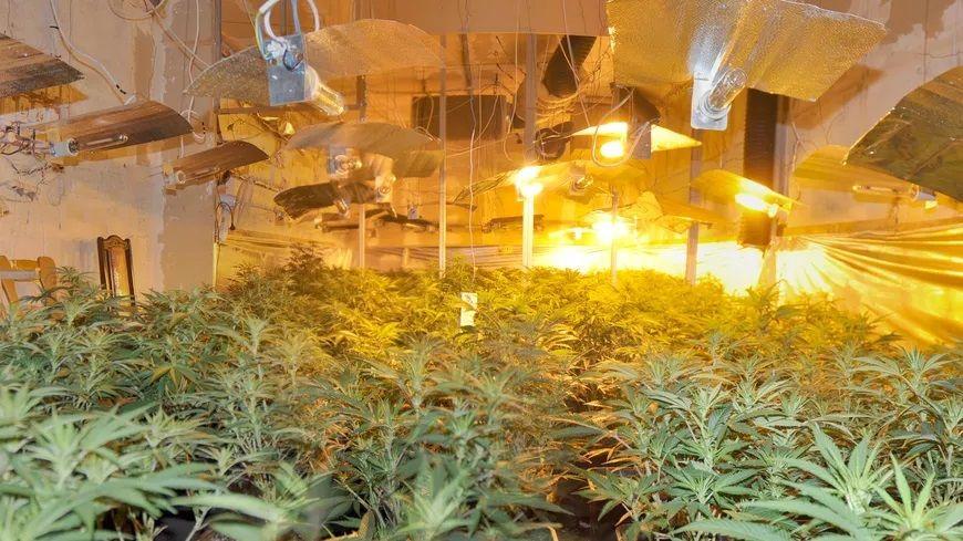 Plantation de cannabis clandestine