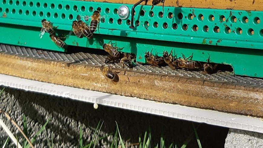 Ce mois de février a été particulièrement doux, voire chaud, au Pays basque réveillant les ruches.