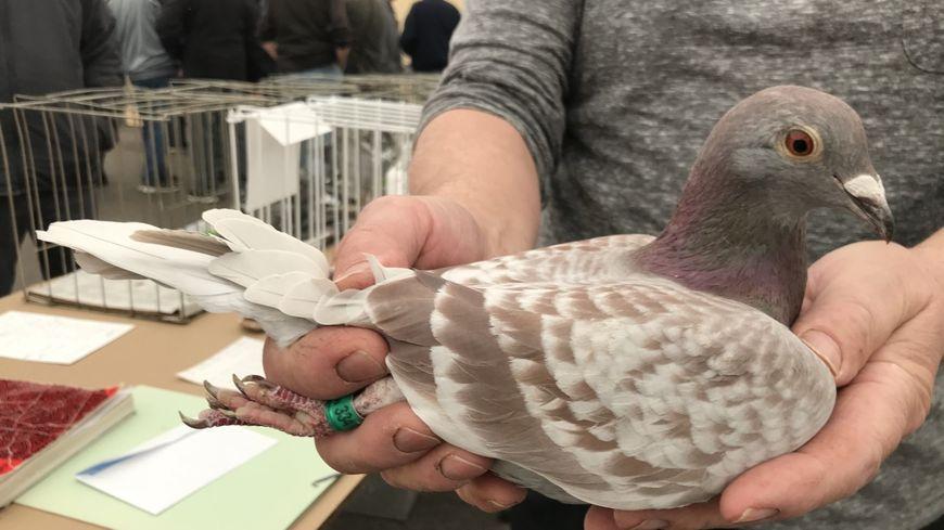 Cette femelle pigeon descend d'une lignée de champion. Elle pourrait avoir de très bons résultats sur des courses de plusieurs centaines de kilomètres.